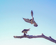 PEREGRINE COURTSHIP AND BONDING