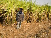 09 FEBRUARY 2015 - THA MAI, KANCHANABURI, THAILAND: A worker gets ready to go through a sugarcane field looking for salvageable  stubble after a mechanical harvester clear cuts the field in Kanchanaburi, Thailand. Thailand is the world's second leading sugar exporter after Brazil. The 2015 sugarcane harvest in Thailand is expected to fall about 5% compared to the 2014 harvest because of a continuing drought in Southeast Asia. Brazilian production is also expected to fall this year because of ongoing drought in Brazil. Australia, the number 3 sugar exporter, is also expected to see a smaller harvest this year because of continuing draught in Australia.   PHOTO BY JACK KURTZ