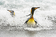 Two King Penguins (Aptenodytes patagonicus) comin ashore in the surf,.Salisbury Plain, South Georgia Island, South Atlantic Ocean