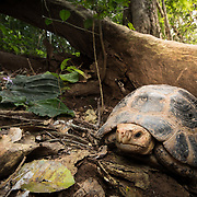 Elongated Tortoise (Indotestudo elongata) in Kaeng Krachan national park, Thailand