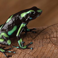 Green and Black Poison Dart Frog, Dendrobates auratus, in the Osa Peninsula.