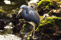 "Tricolored heron hunting crabs and small fish at J.N.""Ding"" Darling National Wildlife Refuge."