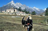 Nepal - Region du khumbu - Zone de l'Everest - Village de Thyangboche à 3800 m d'altitude - Yak