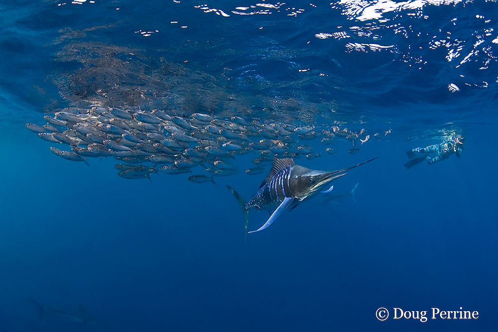 striped marlin, Kajikia audax (formerly Tetrapturus audax ), feeding on baitball of sardines or pilchards, Sardinops sagax, off Baja California, Mexico ( Eastern Pacific Ocean ); videographer Skip Stubbs in background; MR 398