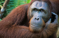 Orangutan scratching face close-up