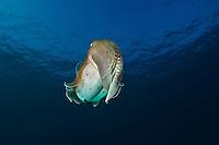 Broadclub cuttlefish, Sangalaki, Kalimantan, Indonesia.