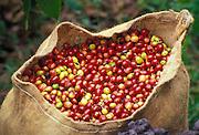 "Harvested Kona coffee beans (""cherry"") in burlap bag; Kona, Hawaii."