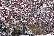 Mountain ash tree and birdhouses under fresh snowfall in Whitefish, Montana, USA