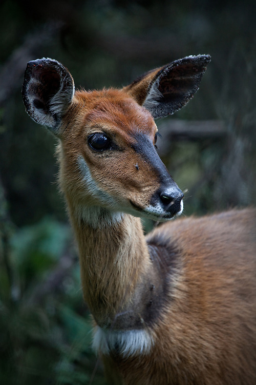 Bushbuck in Aberdare Mountains