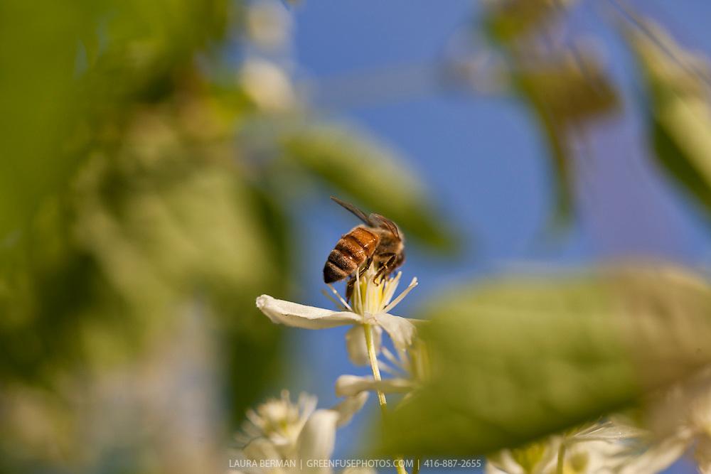 A honeybee on a clematis flower (Apis mellifera)
