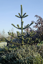 Araucaria araucana - Monkey puzzle tree