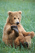Grizzly Bear <br /> Ursus arctos<br /> Playful 2 year old cub<br /> Katmai National Park