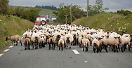 A farmer moving sheep from one field to another along a rural road in Touraneena, Ballinamult, Co.Waterford, Ireland, July 2007. (Photo/John Froschauer).