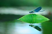 Banded Demoiselle (Calopteryx splendens) male at resting river north Germany | Gebänderte Prachtlibelle (Calopteryx splendens), Männchen