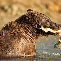 USA, Alaska, Katmai National Park, Kinak Bay, Brown Bear (Ursus arctos) catches spawning salmon in stream on autumn morning