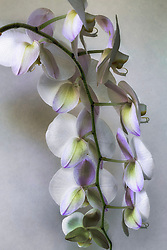 White Phaelenopsis orchid, philippinensis#3