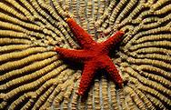 Orange starfish on some brain coral. Fiji