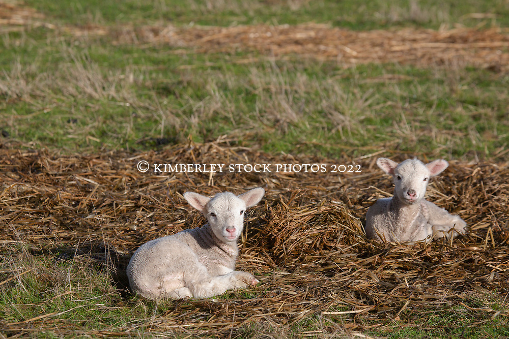 Newborn lambs in a paddock in Tasmania's northern midlands.