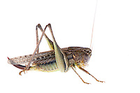 IFTE-NB-007710; Niall Benvie; Platycleis albopunctata grisea; Europe; Austria; Tirol; Fliesser Sonnenhänge; invertebrate arthropod insect grasshopper; horizontal; high key; brown white; controlled; female; adult; one; upland grassland meadow woodland edge; 2008; July; summer; strobe backlight; Wild Wonders of Europe Naturpark Kaunergrat