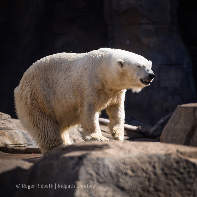 Polar Bear Looking right at Kansas City Zoo