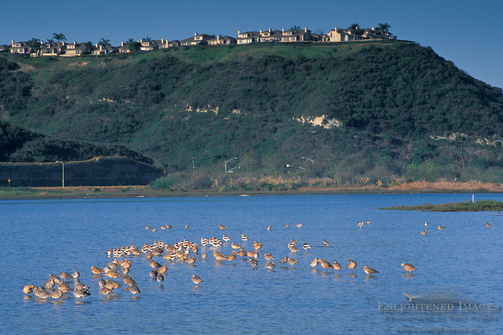 Shorebirds in+Batiquitos Lagoon, Carlsbad, San Diego County, CALIFORNIA