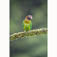Brown-hooded Parrot (Pyrilia haematotis) perched on branch near Boca Tapada, Costa Rica, February, 2014.