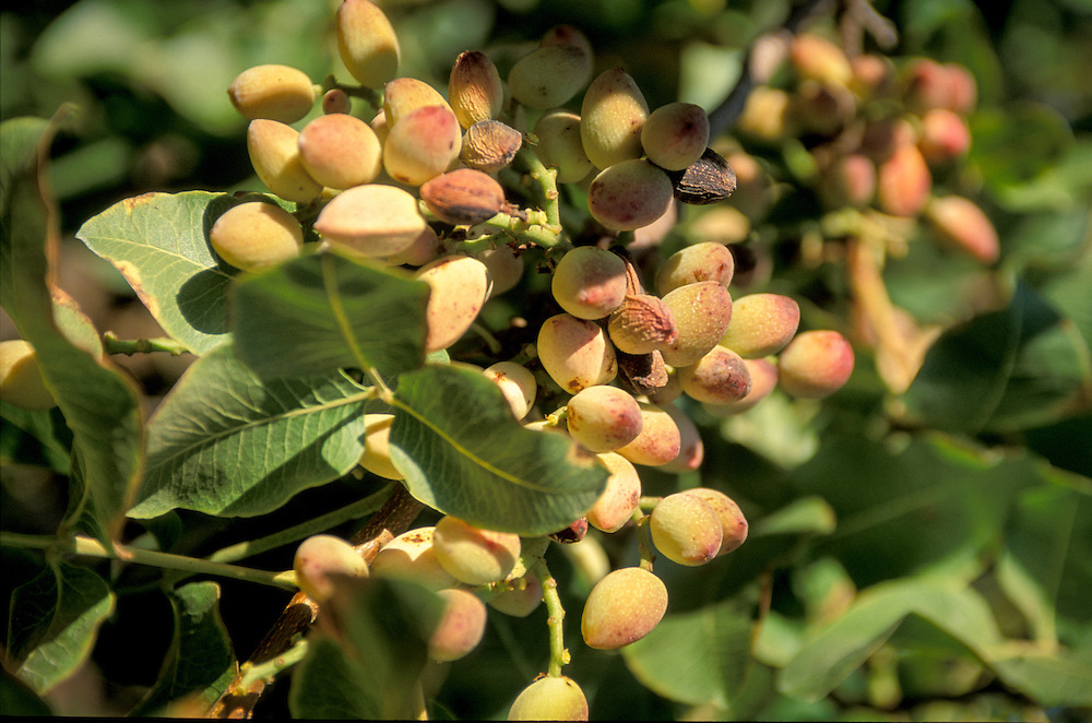 CENTRAL VALLEY, CALIFORNIA - Pistachio harvest at S&J Ranch