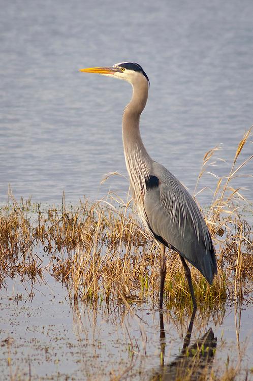 Great blue heron; Ridgefield National Wildlife Refuge, southwest Washington.