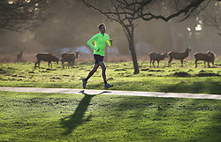 © Licensed to London News Pictures. 31/12/2015. London, UK. A jogger runs past a herd of deer in Bushy Park. Photo credit: Peter Macdiarmid/LNP