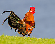 A Red Junglefowl hunts for food among short grass, Kauai, Hawaii.  The Red Junglefowl is Hawaii's first introduced species. The colonizing Polynesians brought it to Hawaii over 700 years ago.