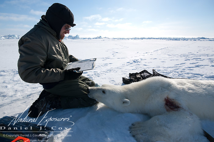Geoff York ,a USGS biologist, collecting data from a polar bear  (Ursus maritimus) on the Beaufort Sea ice. Kaktovik, Alaska.
