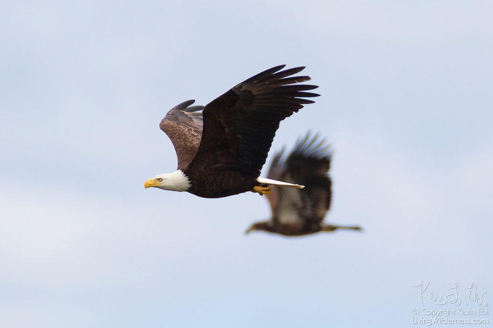 Two bald eagles (Haliaeetus leucocephalus), an adult and a juvenile (background), fly over the Hood Canal in Washington state to hunt midshipman fish. Hundreds of bald eagles congregate in the area near the town of Seabeck early each summer to feast on the migrating fish, which get trapped in oyster beds during low tides.