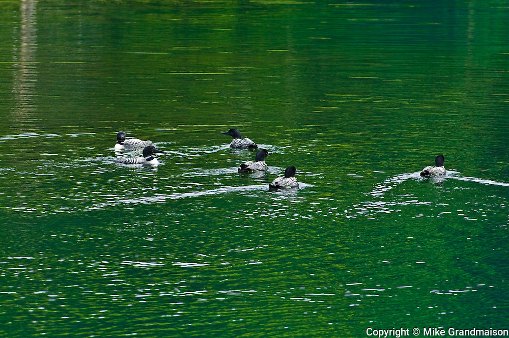 Great northern or common loons Gavia immer<br /> Killarney Provincial Park<br /> Ontario<br /> Canada