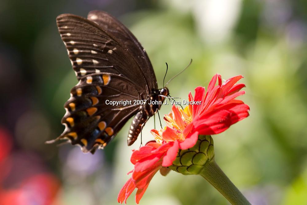 Black Swallowtail, butterfly, on red zenia flower