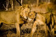 Loving lions nuzzling and cuddling, Sabi Sands Private Game Reserve, Sabi Sabi, South Africa