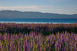"""Lupine at Lake Tahoe 3"" - These Lupine wildflowers were photographed in the early morning at Lake Forest Beach, Lake Tahoe."