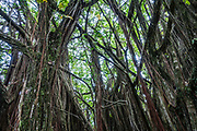Aerial tree roots in dense tropical forest at Akaka Falls State Park, Big Island, Hawaii, USA.