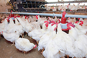 Poultry breeding farm. Hens and Roosters in a coop. Feeding the birds Photographed in Israel