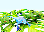 Blue Frog With Green Frogs On Leaf