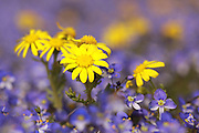 Eastern groundsel (Senecio vernalis) and Syrian Speedwell (Veronica syriaca) Photogrpahed in Israel in February
