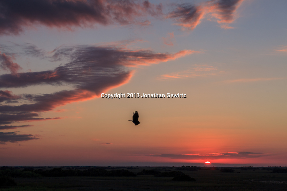 A Turkey Vulture (Cathartes aura) is silhouetted above sawgrass prairie at sunset in the Shark Valley section of Everglades National Park, Florida. WATERMARKS WILL NOT APPEAR ON PRINTS OR LICENSED IMAGES.