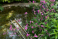Silene dioica (Red Campion) growing over a rill and pond in Derry Watkins' Special Plants Garden in Cold Ashton, Chippenham, Somerset, UK