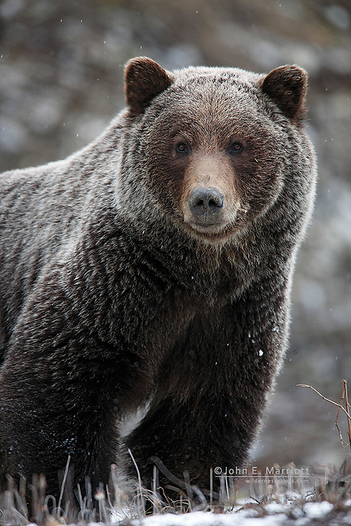 Grizzly bear in fresh spring snow in the Canadian Rockies