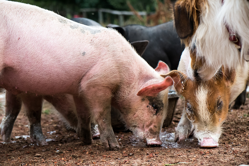 Heritage Mule Footed Pigs eat at EZ Rocking Ranch | August 23, 2014