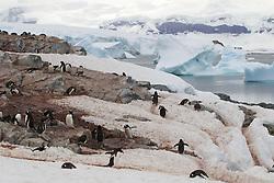 rville Island, Gentoo penguin colony, Antarctica