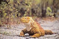 Galapagos Islands, green Iguana-