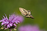 Sphinx moth hovers at a wild horsemint blossom in a mountain meadow in the Jemez Mountains, © 2014 David A. Ponton