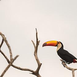 Toucan on a branch, Pantanal, Brazil.