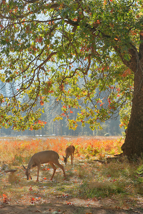 Grazing Deer Under Oak Tree - Yosemite Valley