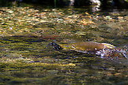 Sockeye Salmon (Oncorhynchus nerka) swimming upstream to spawn at the Weaver Creek Spawning Channel near Agassiz, British Columbia, Canada.